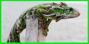 "Iguana Verde ""Iguana Iguana"" moteada"