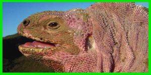 """Iguana Terrestre Rosada """"Conolophus marthae"""" bonito y exótico"""