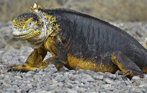 """Iguana Terrestre de Galápagos """" Conolophus """" bonita y exótica reptil lagarto comportamiento en celo info paralasiguanas.top"""