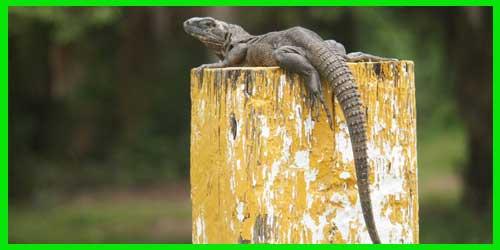 """Iguana espinosa del Golfo """"Ctenosaura Acanthura"""" lagartos exóticos reptiles bonitos info tienda online paralasiguanas.top"""