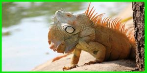 "Iguana Verde ""Iguana Iguana"" color anaranjado"