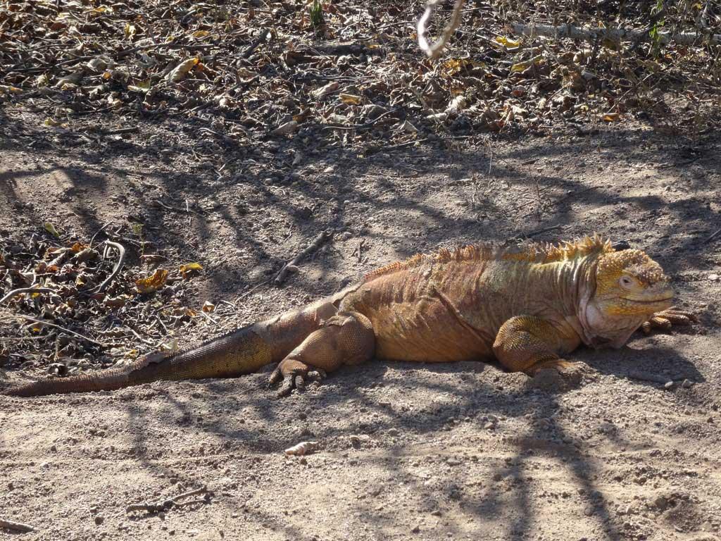 Iguana terrestre de las Galápagos exótico y bonito
