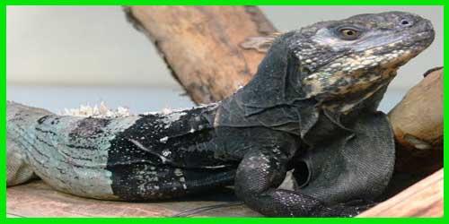 """Iguana Jamo o de cola espinosa Hondureña """"Ctenosaura Melanosterna"""" reptil exótico lagarto bonito info tienda online paralasiguanas.top"""