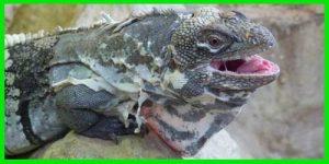 "Iguana de cola espinosa de San Pedro Nolasco ""Ctenosaura Nolascensis"" reptil exótico lagarto bonito info tienda online paralasiguanas.top"