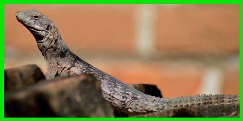 """Iguana de cola espinosa Oaxaqueña """"Ctenosaura Oaxacana"""" reptil exótico lagarto hermoso info tienda online paralasiguanas.top"""