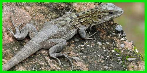 "Iguana Garrobo del Motagua o de Guatemala""Ctenosaura Palearis"" reptil exótico lagarto lindo info tienda online paralasiguanas.top"