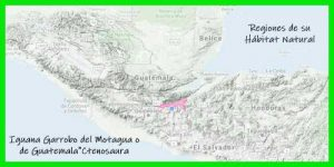 "Iguana Garrobo del Motagua o de Guatemala""Ctenosaura Palearis"" regiones de su hábitat natural info tienda online paralasiguanas.top"