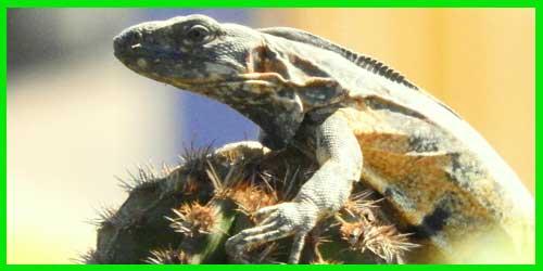 """Iguana Mexicana de cola espinosa """"Ctenosaura Pectinata"""" hermoso reptil exótico lagarto info tienda online paralasiguanas.top"""