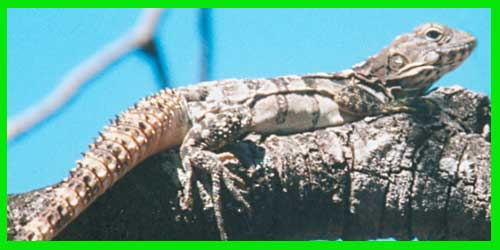 "Iguana Hondureña de cola espinosa ""Ctenosaura Praeocularis"" reptil hermoso lagarto exótico info tienda online paralasiguanas.top"