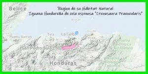 "Iguana Hondureña de cola espinosa ""Ctenosaura Praeocularis"" regiones de su hábitat natural reptil exótico info tienda online paralasiguanas.top"