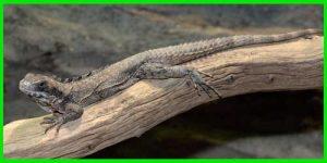 "Iguana Oaxaqueña de cola espinosa ""Ctenosaura Quinquecarinata"" reptil exótico lagarto bonito info tienda online paralasiguanas.top"