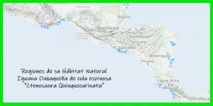 """Iguana Oaxaqueña de cola espinosa """"Ctenosaura Quinquecarinata"""" regiones de su hábitat natural reptil exótico info tienda online paralasiguanas.top"""