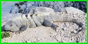 "Iguana Negra de cola espinosa ""Ctenosaura Similis"" reptil exótico lagarto bello info tienda online paralasiguanas.top"