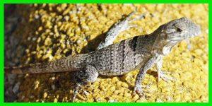 "Iguana Negra de cola espinosa ""Ctenosaura Similis"" reptil exótico lagarto bonito info tienda online paralasiguanas.top"