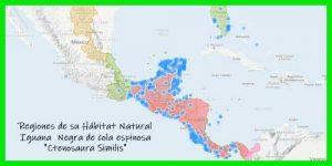 "Iguana Negra de cola espinosa ""Ctenosaura Similis"" regiones de su hábitat natural reptil exótico info tienda online paralasiguanas.top"