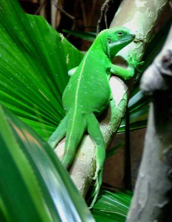 Iguana crestada de Fiji IguanaBrachylophus Bulabula información tienda online paralasiguanas.top