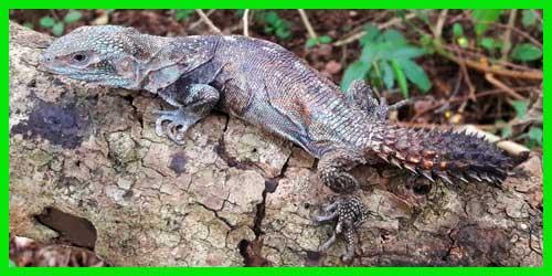 "Iguana de cola espinosa Campechana ""Ctenosaura Alfredschmidti"" hermoso reptil lagarto exótico info tienda online paralasiguanas.top"