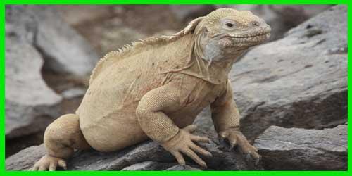"""Iguana Terrestre de Barrington """"Conolophus Pallidus"""" exótico y bonito"""