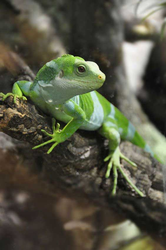 Iguana crestada de Fiji Iguana Brachylophus fasciatus Bandeada información tienda online laralasiguanas.top