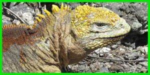 """Iguana Terrestre de las Galápagos """"Conolophus Subcristatus"""" exótico y bonito"""
