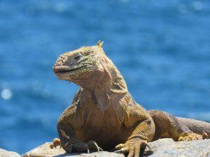 """Iguana Terrestre de Galápagos """" Conolophus """" exótico y bonito"""