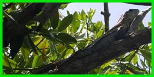 """Iguana de Utila oWishiwilly del Suampo""""Ctenosaura Bakeri"""" reptil escamoso lagarto exótico info tienda online paralasiguanas.top"""