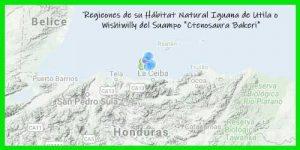 "Iguana de Utila oWishiwilly del Suampo""Ctenosaura Bakeri"" reptil exótico lagarto bonito info tienda online paralasiguanas.top"