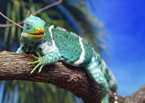 Iguana crestada de Fiji Iguana Brachylophus Vitiensis información tienda online paralasiguanas.top