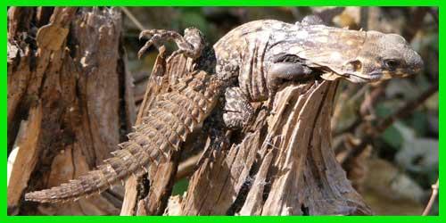 "Iguana Nopilchi o Lagarto Armado de Balsas""Ctenosaura Clarki"" reptil hermos lagarto exótico info tienda online paralasiguanas.top"