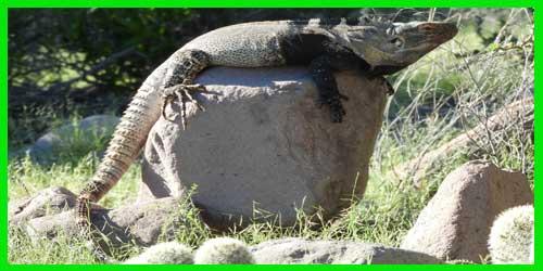 """Iguana de la Isla de San Esteban """"Ctenosaura Conspicuosa"""" exótico lagarto reptil precioso info tienda online paralasiguanas.top"""