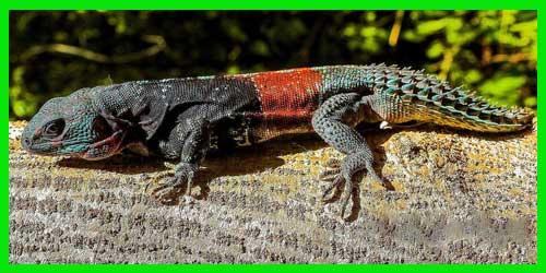 """Iguana Yucateca de cola espinosa """"CtenosauraCachryx Defensor"""" reptil exótico lagarto bonito Y info tienda online paralasiguanas.top"""