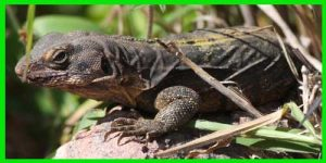 "Iguana Rumia ""Ctenosaura Flavidorsalis"" lagartos exóticos reptil hermoso info tienda online paralasiguanas.top"