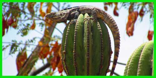 "Iguana de palo ""Ctenosaura Hemilopha"" lagarto exótico reptil bello info tienda online paralasiguanas.top"