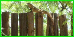 "Iguana de cola espinosa Sonorense o Negra ""Ctenosaura Macrolopha"" reptil exótico lagarto bonito info tienda online paralasiguanas.top"