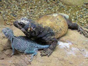 Iguanas de tierra o Sauromalus info tienda online paralasiguas.top