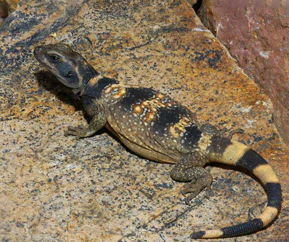 Iguanas de tierra o Sauromalus info apareamiento macho tienda online paralasiguanas.top