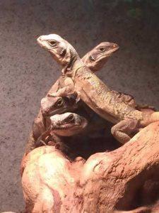 Iguanas de tierra o Sauromalus mascota exótica info tienda online paralasiguanas.top