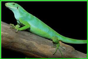 Iguana Brachylophus Bulabula (Iguana Fiji)