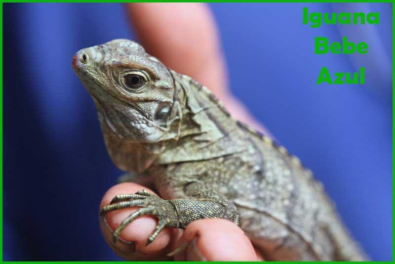 Hermosas y Exóticas Iguanas Bebes Azules