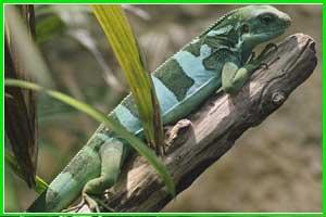 Iguana Brachylophus fasciatus (Iguana Bandeada)