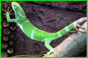 Iguana Brachylophus Vitiensis (Iguana Crestada de Fiji)