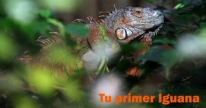 "TU PRIMER IGUANA!!! 10 TIPS ""CONSEJOS Y ADVERTENCIAS"""