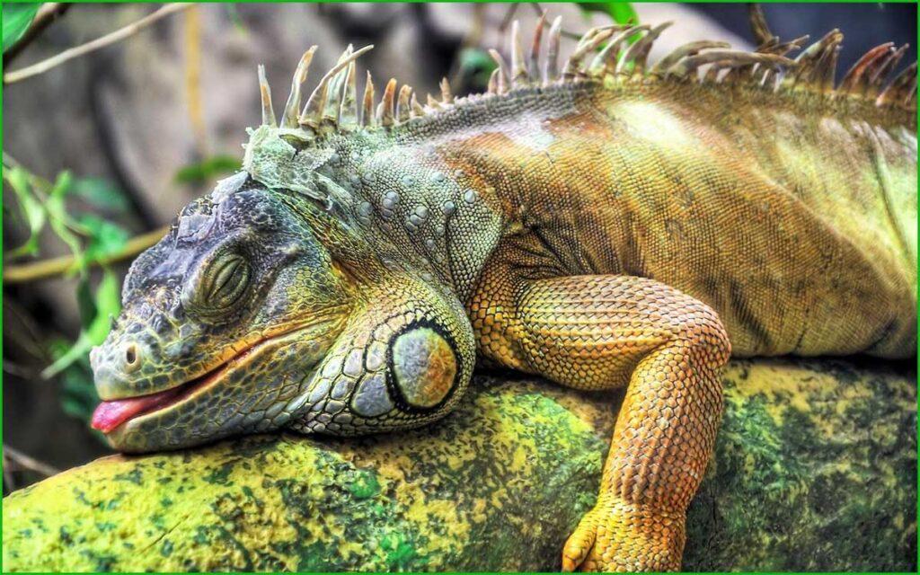 DATOS INTERESANTES SOBRE LAS IGUANAS bonitas y exóticas iguana verde