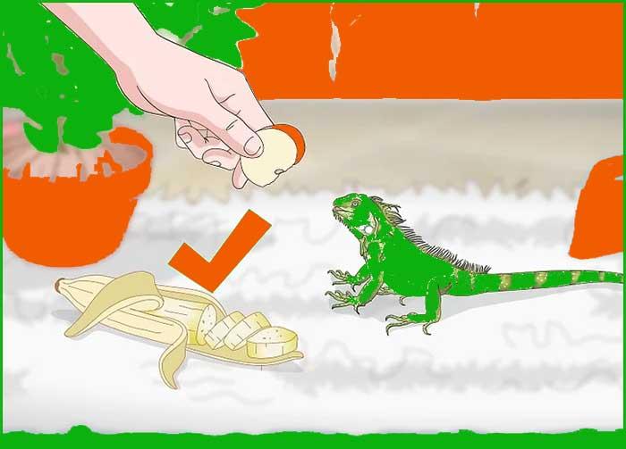 3 Alimentando sabroso a tu Iguana