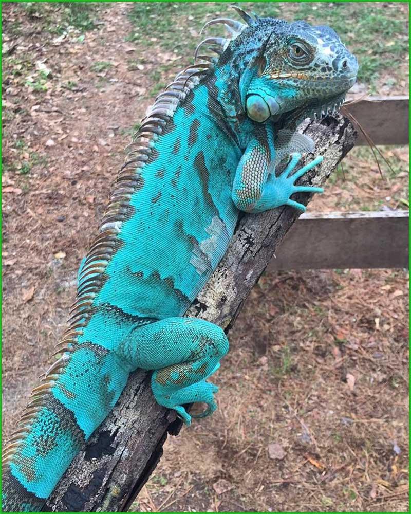 DATOS INTERESANTES SOBRE LAS IGUANAS bonitas y exóticas iguana azul