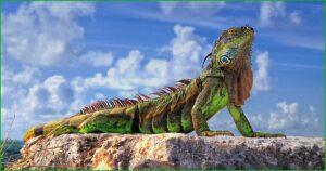 DATOS INTERESANTES SOBRE LAS IGUANAS bonitas y exóticas iguana tercer ojo