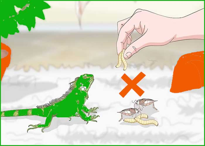 3 Alimentando sabroso a tu Iguana 4