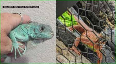 DOS HERMOSAS IGUANAS SON ROBADAS DEL SANTUARIO DE ANIMALES DE NEWCASTLE - 3