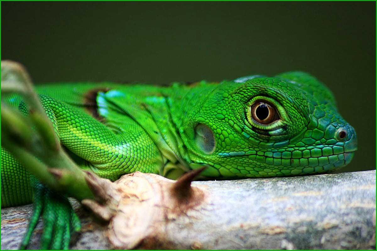 DATOS INTERESANTES SOBRE LAS IGUANAS bonitas y exóticas iguana bebe