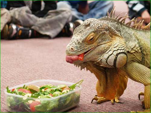Alimentos que puedes ofrecer a tu iguana una vez a la semana (mezcla con alimentos básicos)